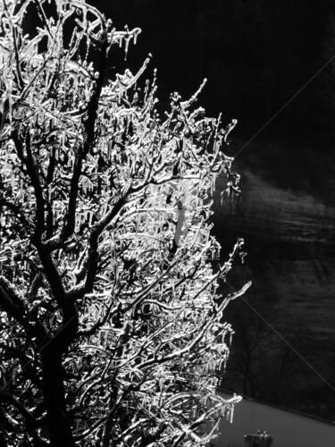 Protection contre le gel des abricotiers dans la plaine du Rhône en Valais - ( CH )